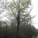 Erable Champêtre ( Forêt de Lorraine)