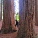 Cache-Cache entre les séquoias