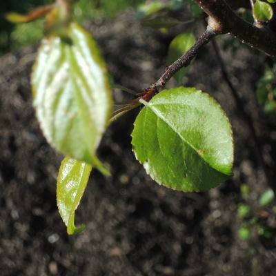 feuilles jeunes