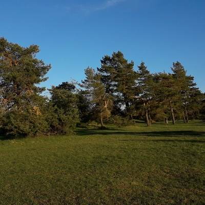 Pins Sylvestres isolés sur une pelouse calcaire  ( Lorraine)