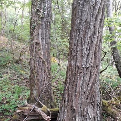Forêt de Lorraine - 70 ans environ