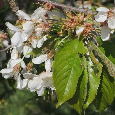 Les fleurs d'un Bigarreau