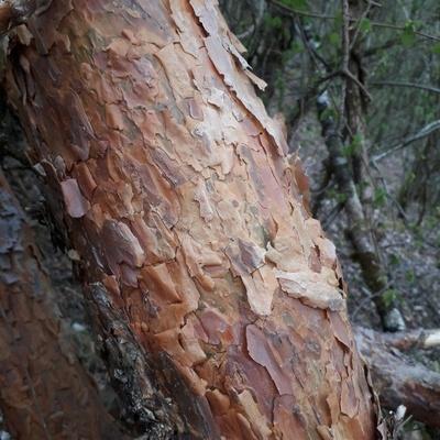 Ecorce d'une branche du haut