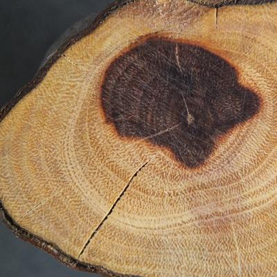 En bois de bout, il présente la même structure que l'ajonc. Le cœur a noirci suite à une blessure sur le tronc, infiltration d'eau. Provenance Haute Garonne