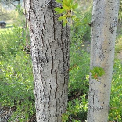 Ecorce de jeune  arbres d'une dizaine d'année