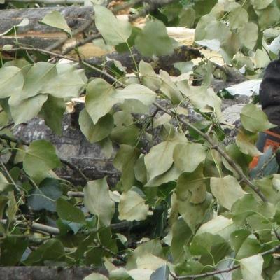 Les feuilles du peuplier tremble assez facilement au vent en créant ainsi des reflets argentés